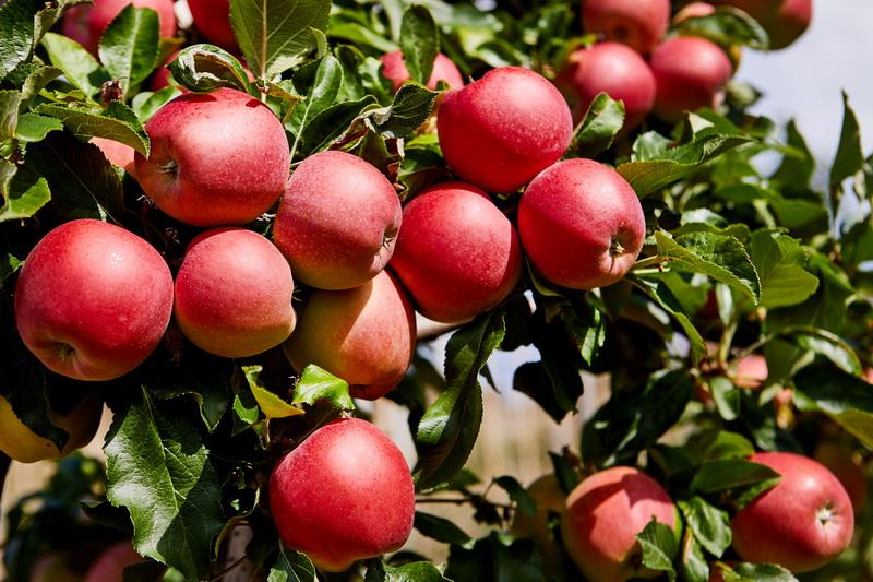 яблоня веньяминовское характеристика сорта фото плитка имеет