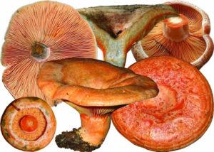 Грибы рыжики - фото и описание, как отличить ложные рыжики от настоящих